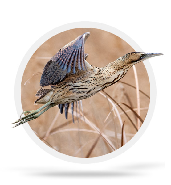 The great bittern in Sebes
