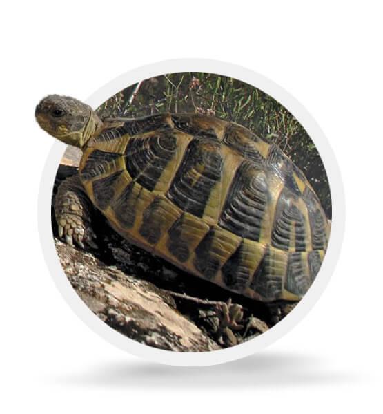 The Mediterranean Tortoise