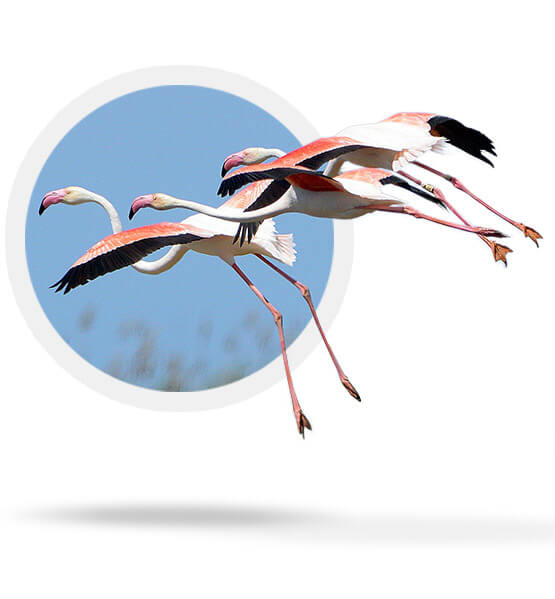 Flamingos breed again at the Ebro delta