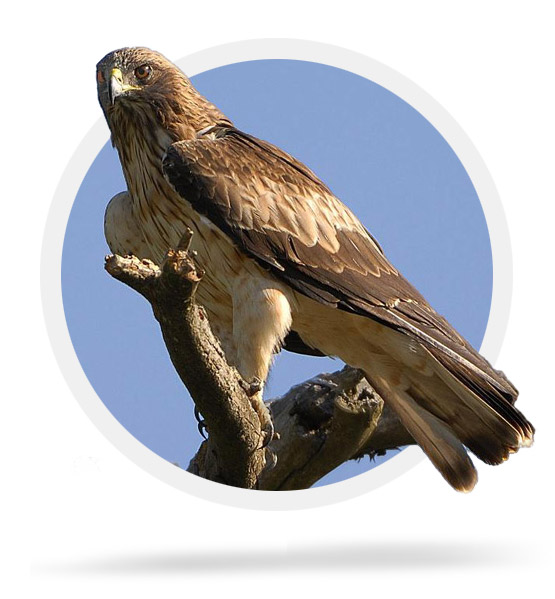 The Booted Eagle
