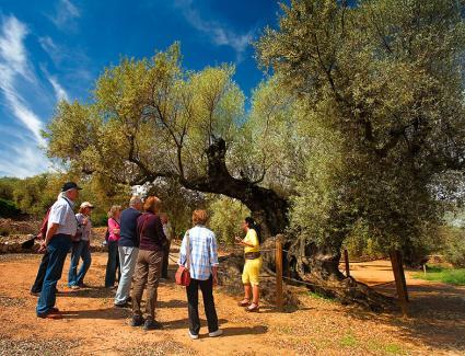 Ruta a les oliveres mil·lenàries